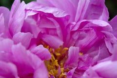 Il primo piano dei petali rosa scuri di un fiore della peonia crea un modello astratto di complessità e di bellezza fotografie stock