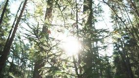 Il primo piano dei rami di pini e dell'abete coperti dal web e secchi lascia in foresta nella mattina soleggiata dell'estate metr video d archivio