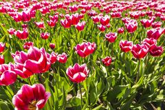 Il primo piano dei tulipani fiammeggiati rossi e bianchi in tulipani olandesi sistema la f Fotografia Stock Libera da Diritti