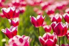 Il primo piano dei tulipani fiammeggiati rossi e bianchi in tulipani olandesi sistema la f Immagini Stock Libere da Diritti
