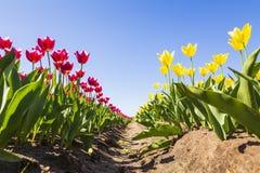 Il primo piano dei tulipani rossi e gialli in tulipani olandesi sistema il flowerb Fotografia Stock