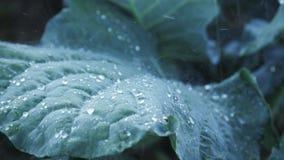 Il primo piano del abbage del  di Ñ va sotto la pioggia Cespugli del cavolo con le foglie verdi sulla terra stock footage