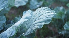 Il primo piano del abbage del  di Ñ va sotto la pioggia Cespugli del cavolo con le foglie verdi sulla terra video d archivio