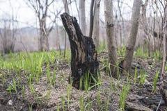 Il primo piano del ceppo e della foglia carbonizzati rimane dopo l'ustione controllata nelle prerogative della foresta incoraggia fotografie stock libere da diritti