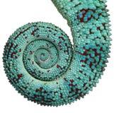 Il primo piano del Chameleon della pantera curioso è coda Immagine Stock