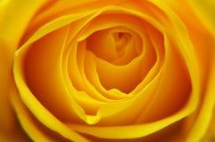 Il primo piano del colore giallo è aumentato Fotografie Stock