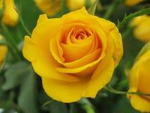 Il primo piano del colore giallo è aumentato immagini stock