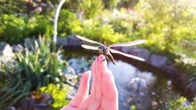 Il primo piano del colpo dell'arco di grande libellula si siede sulle dita della donna con il lago su fondo archivi video