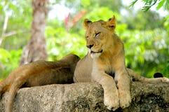 Il primo piano del cucciolo di leone africano osserva chiuso Fotografie Stock