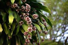 Il primo piano del fiore di Fragrans della dracaena ha fondo Bokeh di una varietà immagini stock libere da diritti