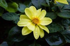 Il primo piano del fiore giallo immagini stock libere da diritti