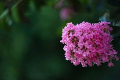 Il primo piano del fiore rosa sboccia da un mirto di Creta Fotografie Stock