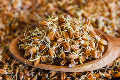 Il primo piano del frumento germogliato granulo Fotografia Stock