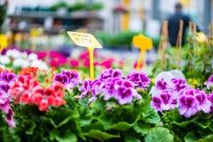 Il primo piano del geranio conservato in vaso rosso e porpora fiorisce per la vendita Fotografia Stock