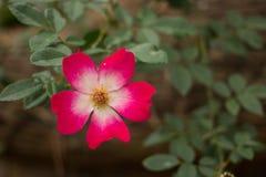 Il primo piano del giardino è aumentato Fotografia Stock Libera da Diritti