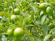 Il primo piano del limone verde ancora fruttifica sull'albero Fotografia Stock Libera da Diritti