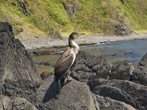 Il primo piano del Phalacrocorax si siede su roccia Fotografia Stock