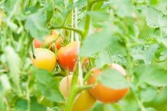 Il primo piano del pomodoro stacca sul concetto dell'agricoltura di eco Fotografie Stock