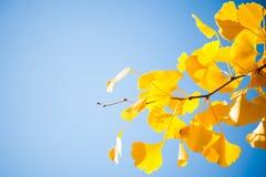 Il primo piano del ramo di albero del ginkgo con giallo va su un cielo blu Fotografia Stock