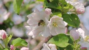 Il primo piano dell'ape raccoglie i fiori di Apple di rosa di Honey In Blooming White And stock footage