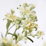 Il primo piano dell'edelweiss fiorisce su un fondo bianco Fotografia Stock