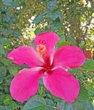 Il primo piano dell'ibisco rosa fiorisce con fondo verde nel tro fotografie stock