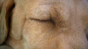 Il primo piano dell'occhio del cane di Sleping Immagini Stock