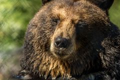 Il primo piano dell'orso nero rende ad espressioni facciali divertenti il fondo verde immagini stock