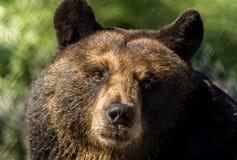 Il primo piano dell'orso nero rende ad espressioni facciali divertenti il fondo verde immagine stock libera da diritti