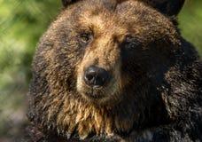 Il primo piano dell'orso nero rende ad espressioni facciali divertenti il fondo verde fotografie stock libere da diritti