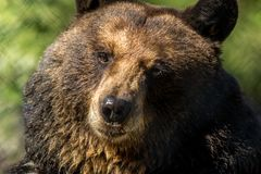 Il primo piano dell'orso nero rende ad espressioni facciali divertenti il fondo verde fotografia stock