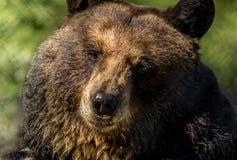 Il primo piano dell'orso nero rende ad espressioni facciali divertenti il fondo verde fotografia stock libera da diritti