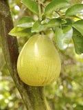 Il primo piano della frutta del pomelo Fotografie Stock