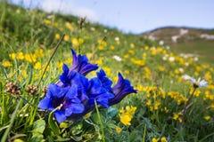 Il primo piano della genziana fiorisce nelle alpi europee Fotografia Stock Libera da Diritti