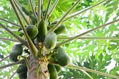 Il primo piano della papaia fruttifica sull'albero di papaia su fondo bianco Fotografia Stock