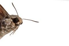 Il primo piano della testa della farfalla con l'ente simile a pelliccia e parzialmente ali è fotografia stock libera da diritti