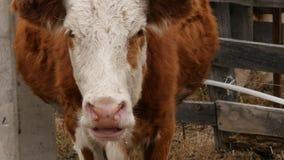Il primo piano della testa di una mucca mastica l'erba Bestiame su un'azienda agricola 4K archivi video