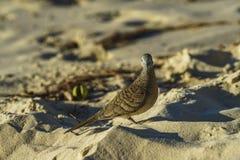 Il primo piano della zebra si è tuffato uccello sulla spiaggia 3 delle Seychelles fotografia stock