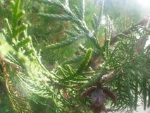 Il primo piano delle foglie verdi del pino con il piccolo pino fruttifica Fotografie Stock
