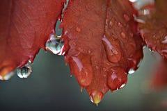 Il primo piano delle gocce piovose che pendono dalla rosa rossa va immagini stock libere da diritti