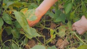 Il primo piano delle mani del ` s della ragazza raccoglie i cetrioli del raccolto nel villaggio archivi video