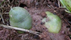 Il primo piano delle patate nel suolo immagine stock libera da diritti