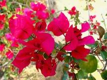 Il primo piano di bella bougainvillea fiorisce in fiore, fondo della natura Fotografia Stock