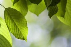 Il primo piano di belle foglie brillanti fresche della ciliegia si è acceso dal hangi del sole Immagine Stock Libera da Diritti