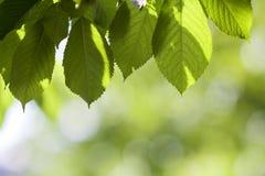Il primo piano di belle foglie brillanti fresche della ciliegia si è acceso dal hangi del sole Fotografia Stock