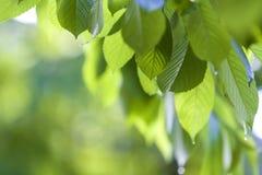 Il primo piano di belle foglie brillanti fresche della ciliegia si è acceso dal hangi del sole Fotografie Stock