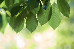 Il primo piano di belle foglie brillanti fresche della ciliegia si è acceso dal hangi del sole Immagine Stock
