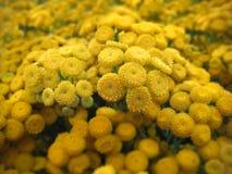 Il primo piano di bello tanaceto (tanacetum vulgare) fiorisce il mazzo Immagine Stock Libera da Diritti