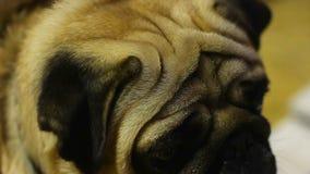 Il primo piano di carlino infelice stanco della macchina fotografica infiamma all'esposizione canina, abuso animale duro stock footage