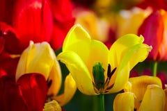 Il primo piano di fioritura del tulipano immagine stock libera da diritti